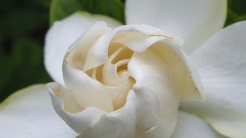 Free stock photo of gardenia, white