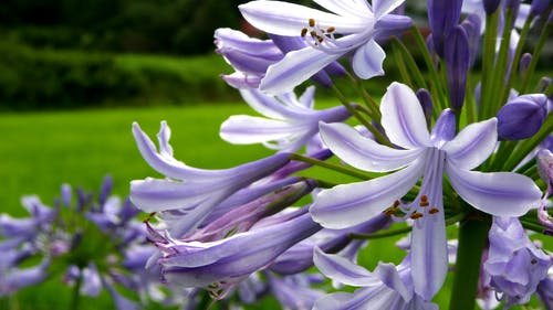 Free stock photo of agapanthus