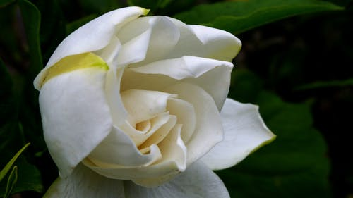 Free stock photo of gardenia