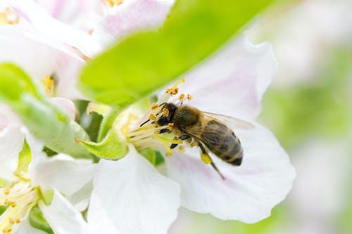Photos gratuites de abeille, abeille recueille le miel, abeilles