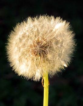 Free stock photo of nature, plant, flower, dandelion