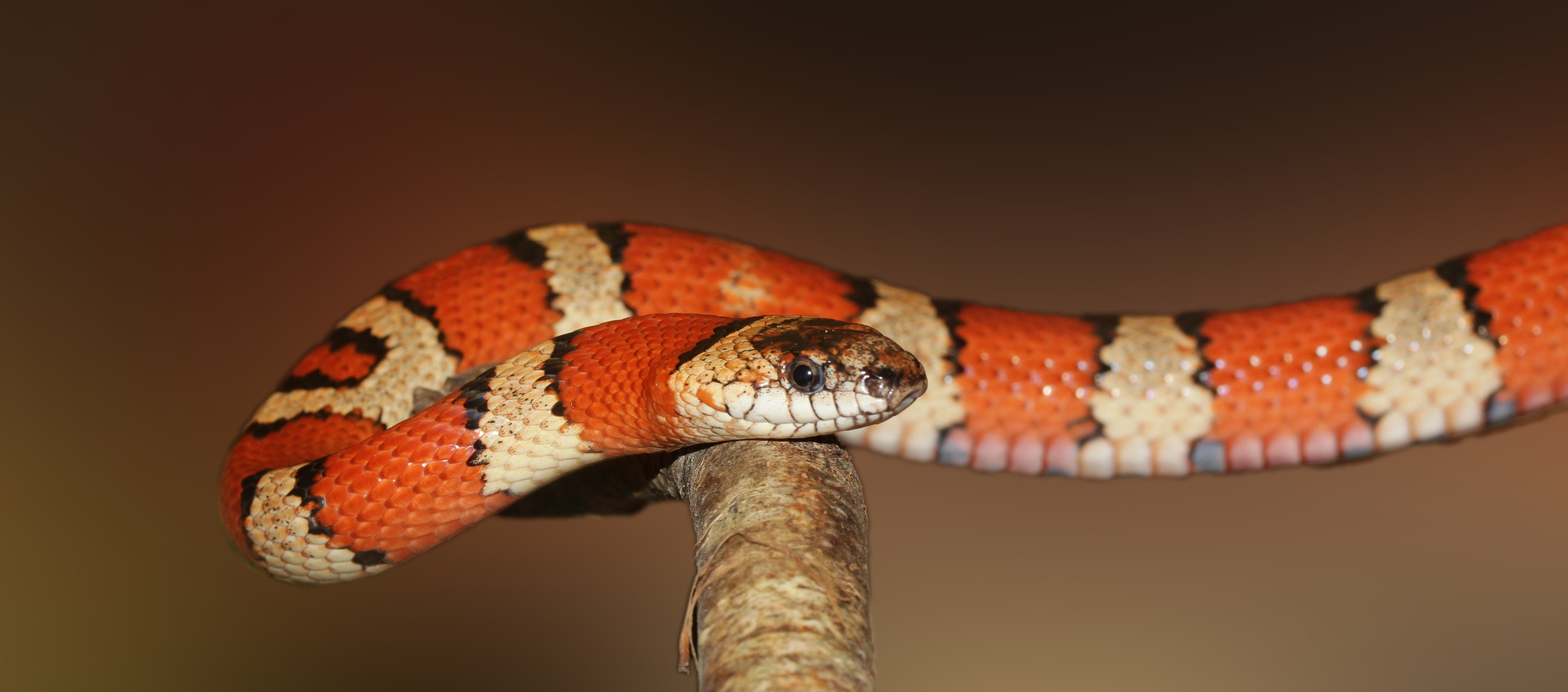 Free stock photo of reptile, attention, snake, constrictor