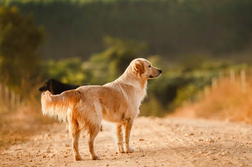 Cute Golden Retriever standing on road in countryside