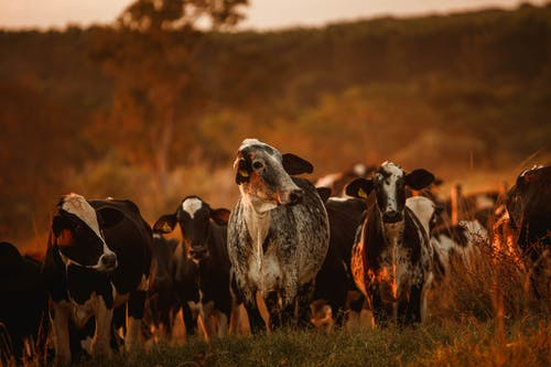 Herd of spotted cows grazing in pasture at countryside at sunset against blurred background