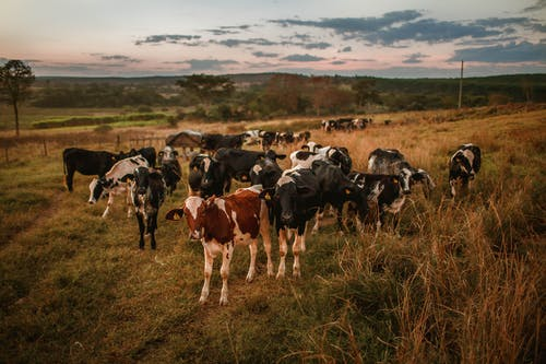 Herd of cows grazing in field in countryside