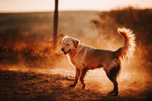 Adorable Golden Retriever standing on ground
