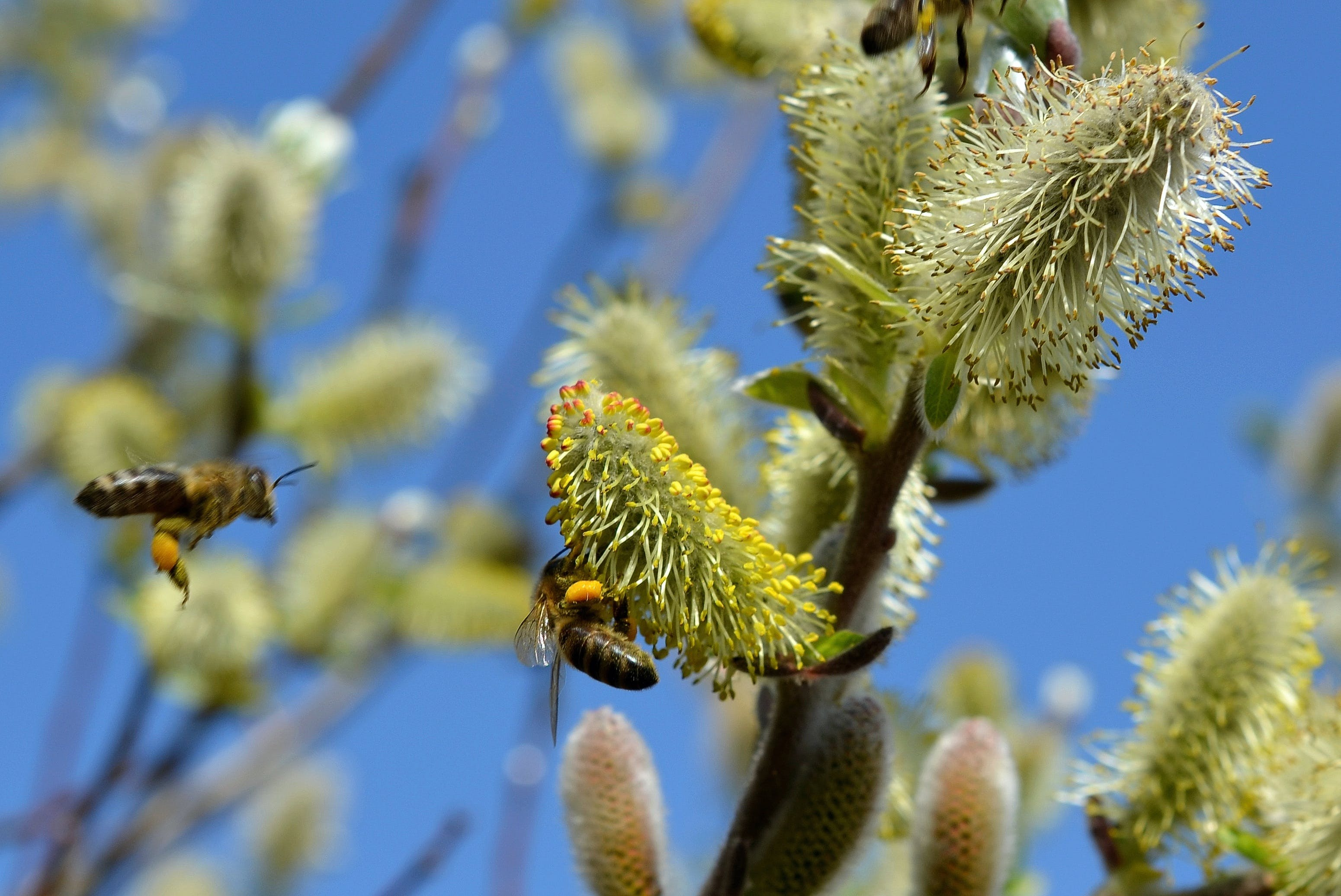 bees, bloom, blossom