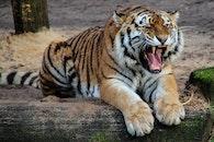 animal, tiger, safari