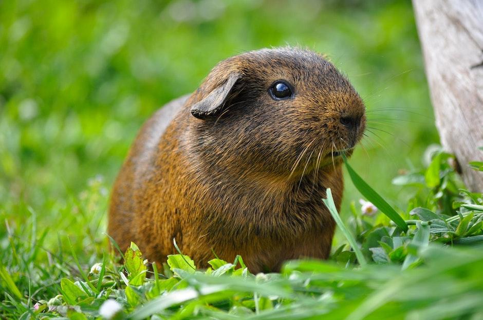 animal, grass, guinea pig