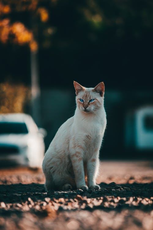 Full length young white tabby with fluffy fur sitting calmly on gravel sidewalk on street and looking away