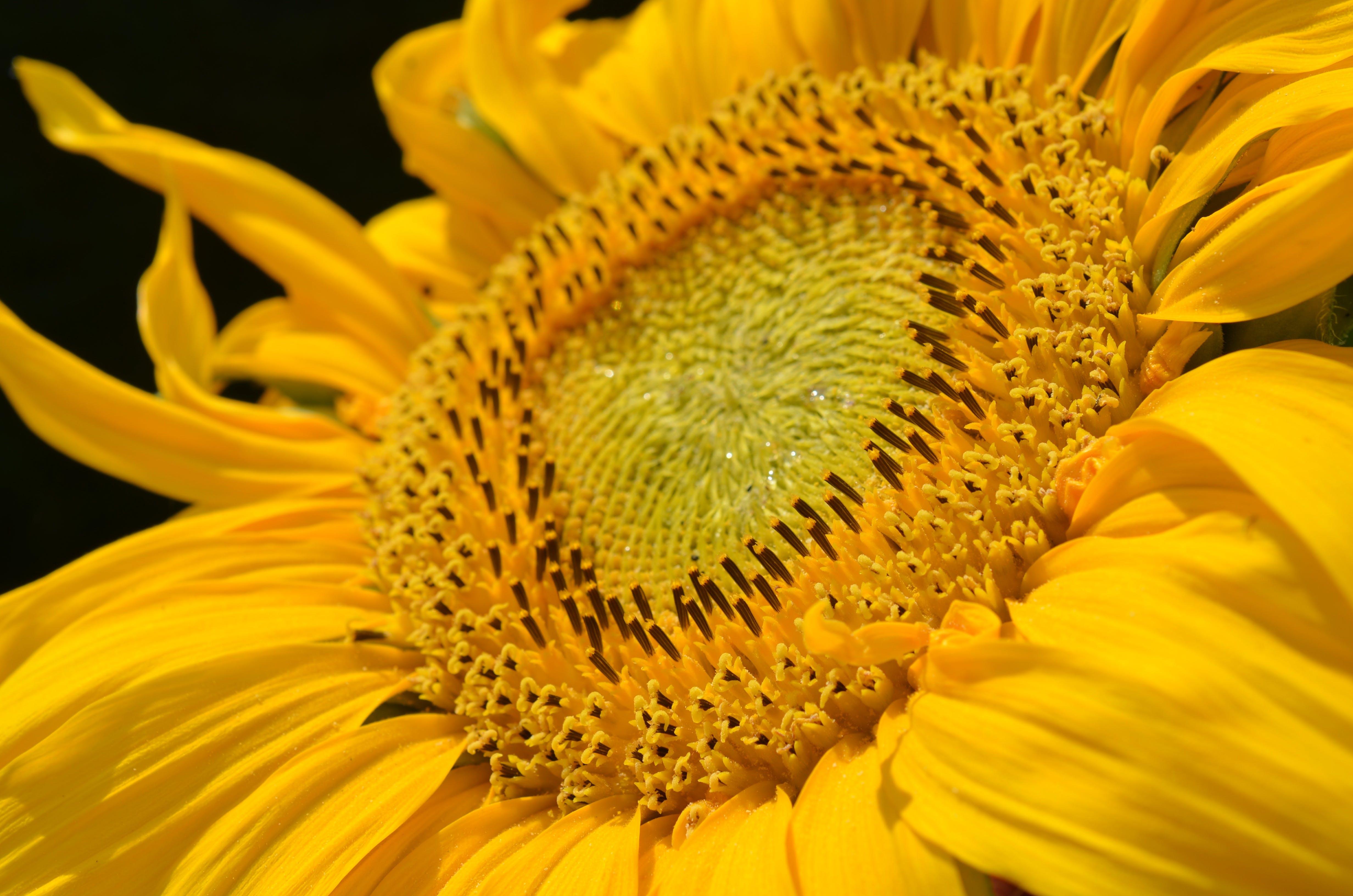 Shallow Focus of Sunflower