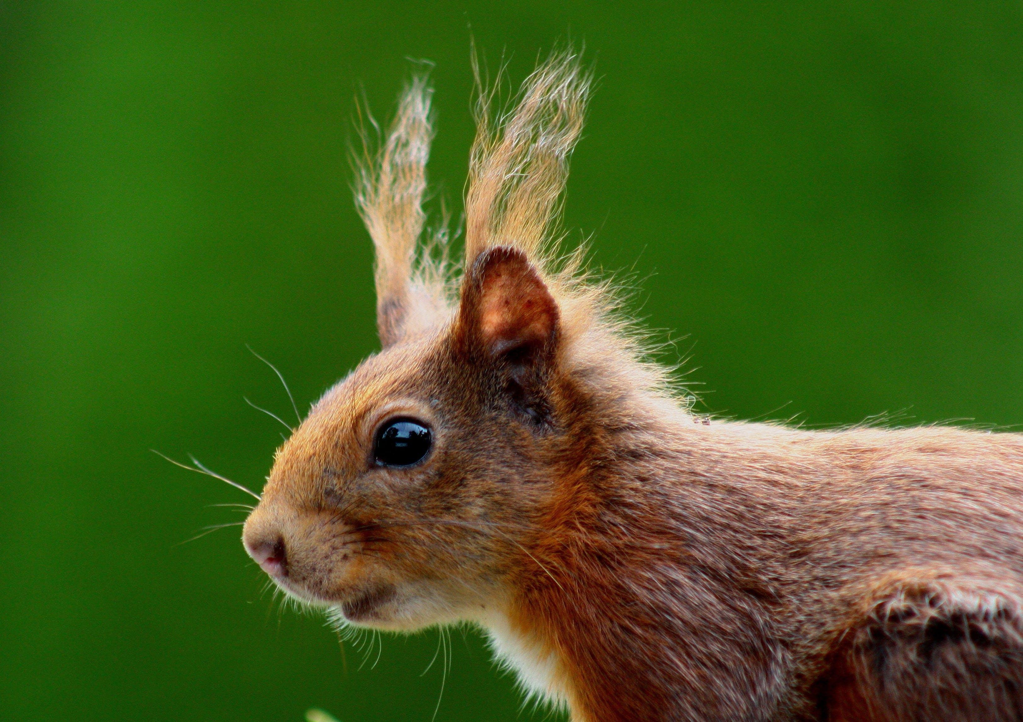Kostenloses Stock Foto zu eichhörnchen, makro, nagetier, natur