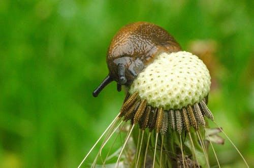Free stock photo of dandelion, eating, macro, nature