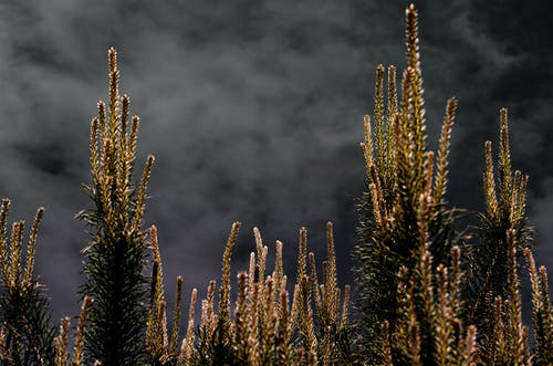 Free stock photo of fir branches, fir tree, growing, night
