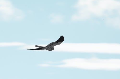 Free stock photo of bird, falcon, flight, flying