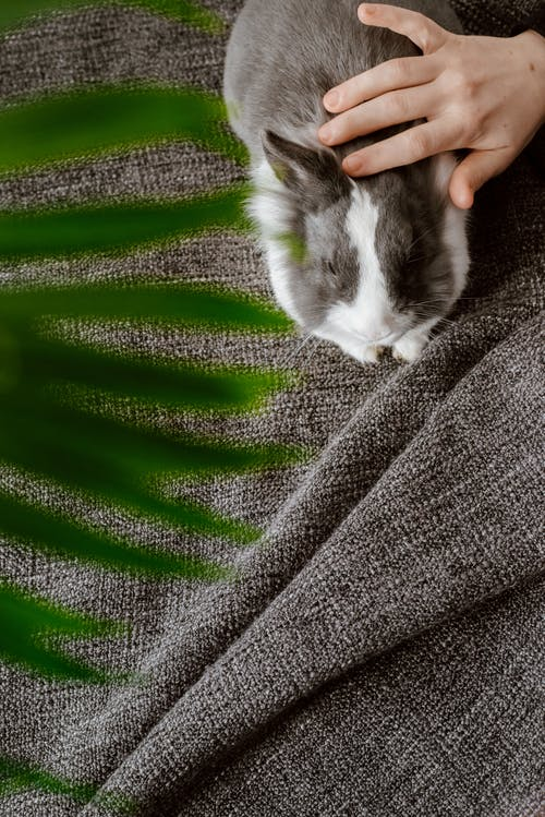 Person Touching Gray Rabbit