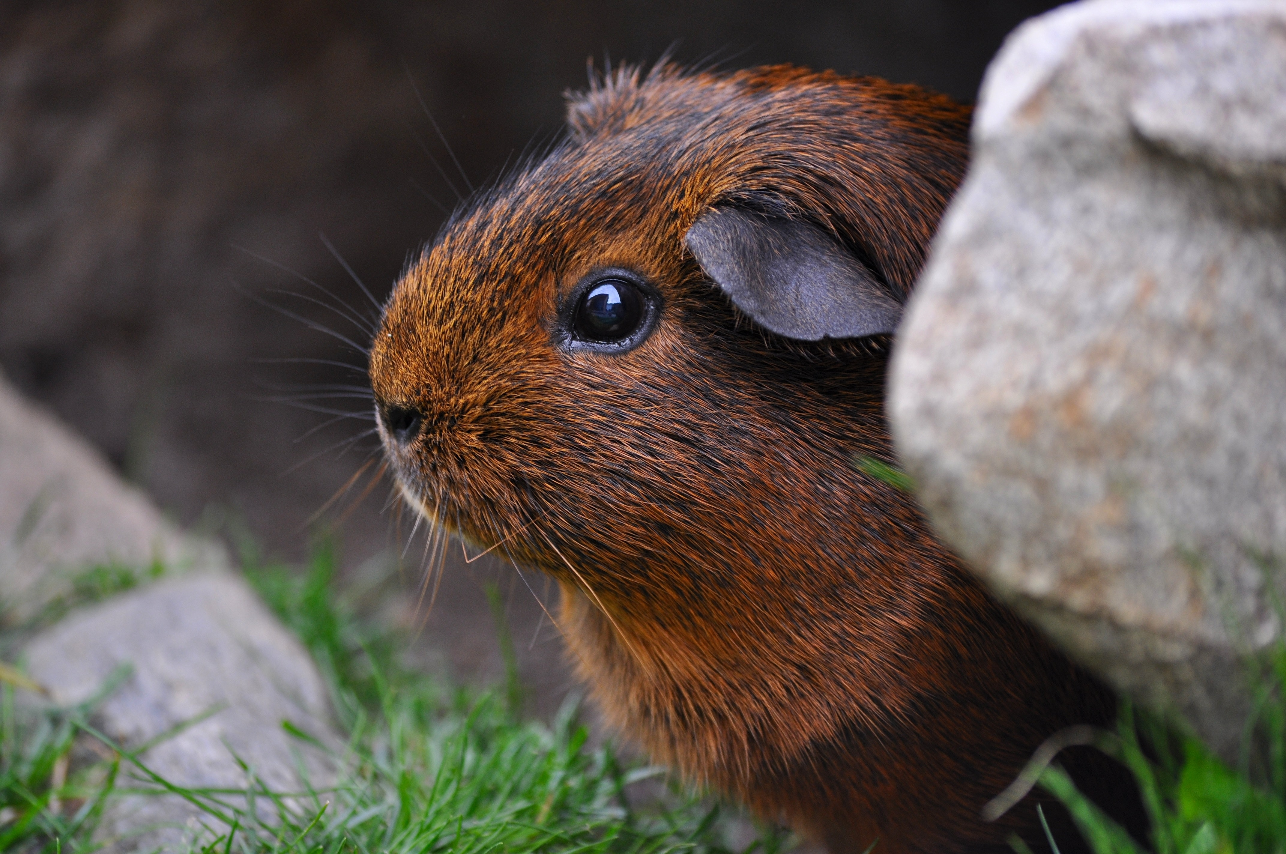 30 interesting guinea pig photos pexels free stock photos for Guinea pig pictures free