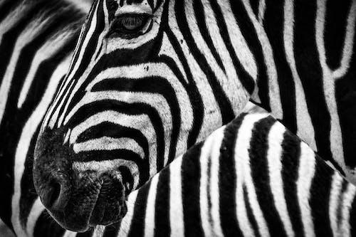 คลังภาพถ่ายฟรี ของ การถ่ายภาพสัตว์, ขาวดำ, ม้าลาย, ลายทาง
