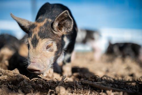 動物の写真, 哺乳類, 子豚の無料の写真素材