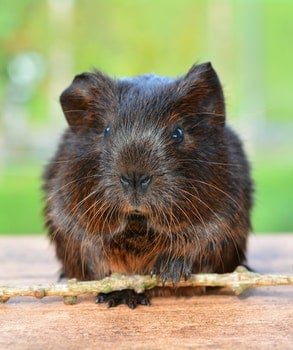 Black and Brown Rodent