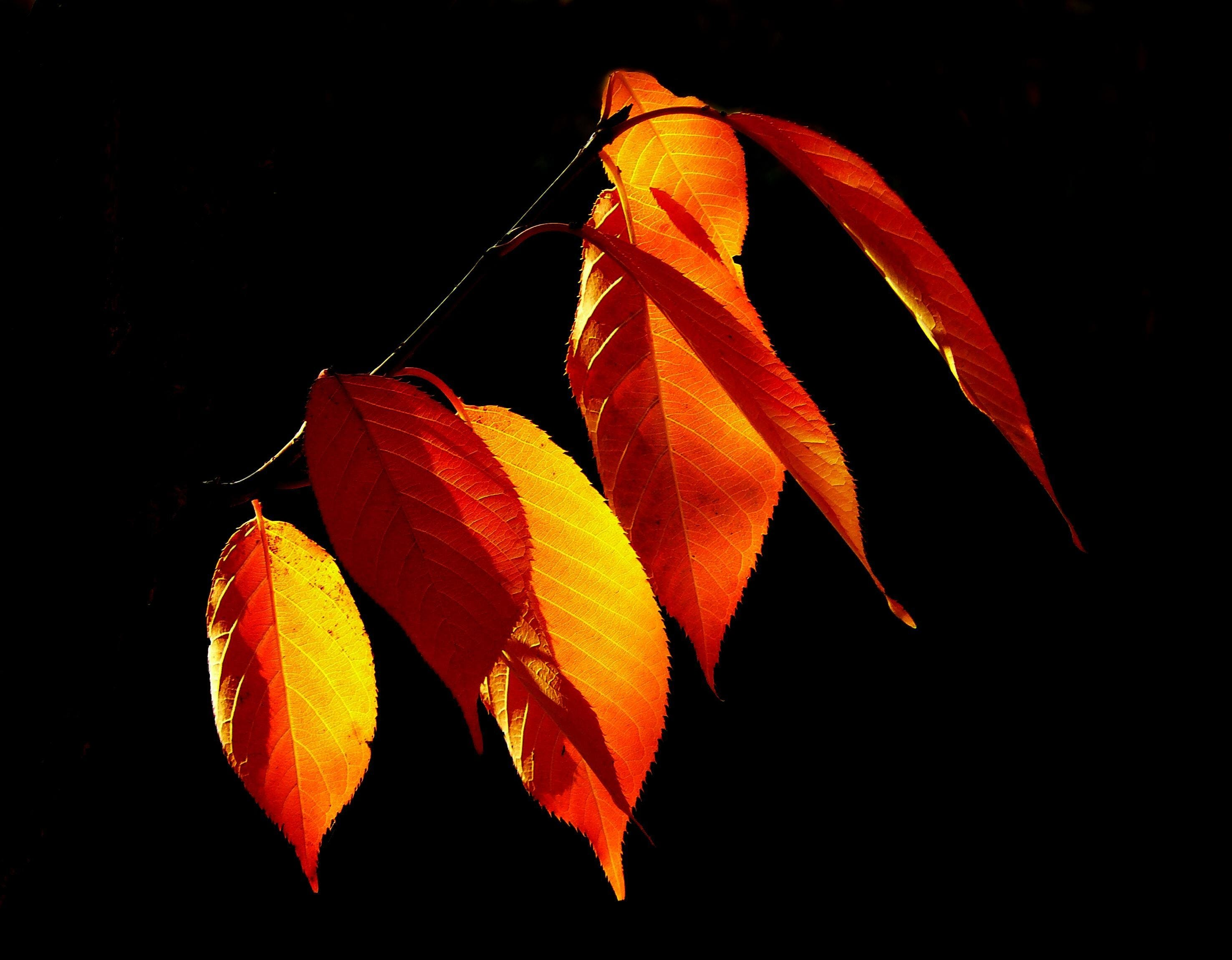 Fotobanka sbezplatnými fotkami na tému červená, listy na jeseň, oranžová, podsvietenie