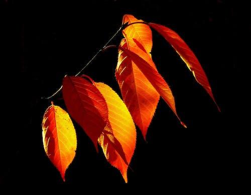 Immagine gratuita di arancia, foglie autunnali, giallo, natura