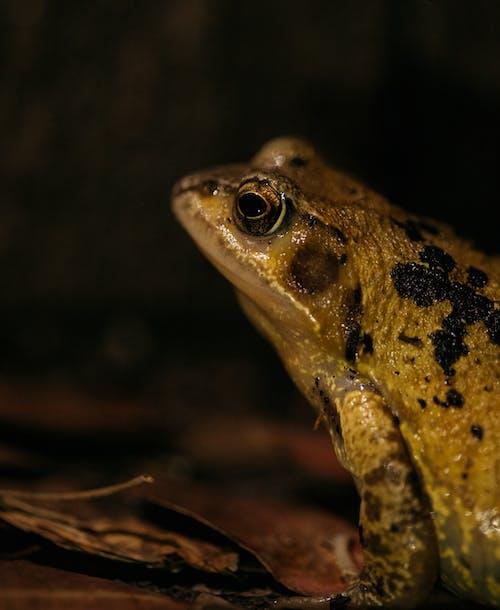 Brown and Black Frog on Brown Dried Leaves