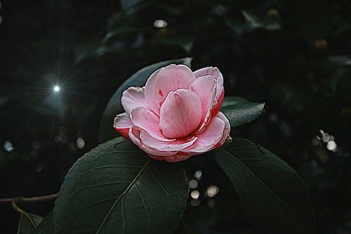 Free stock photo of bud, camellia, flower