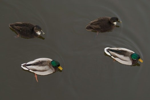 4 Ducks on the Water
