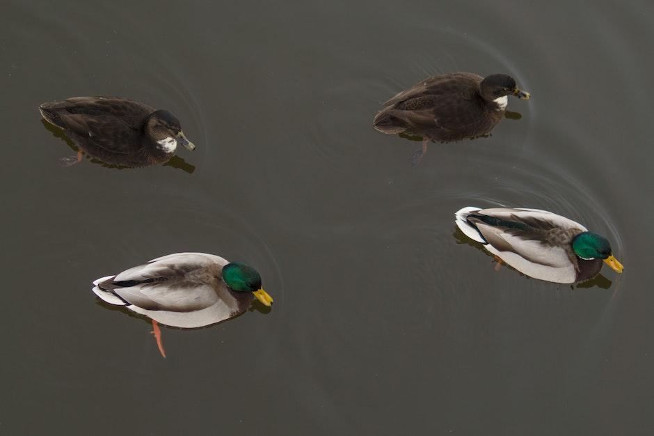 4 Ducks on the Water