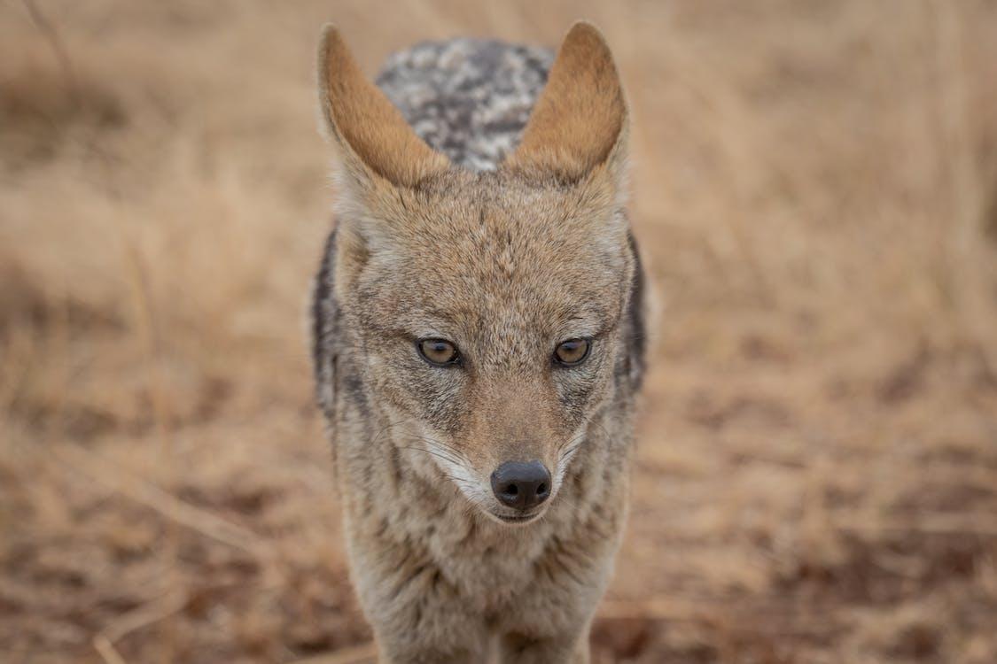 かわいい動物, コヨーテ, ジャッカルの無料の写真素材