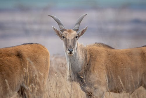 คลังภาพถ่ายฟรี ของ eland, kruger, กลางแจ้ง, กวาง