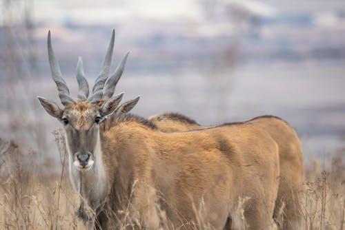 คลังภาพถ่ายฟรี ของ eland, กวางตัวผู้, การถ่ายภาพธรรมชาติ, ธรรมชาติ