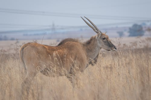 คลังภาพถ่ายฟรี ของ eland, กลางแจ้ง, กวาง, กวางตัวผู้