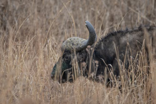 คลังภาพถ่ายฟรี ของ การถ่ายภาพธรรมชาติ, การถ่ายภาพสัตว์ป่า, ควาย, ธรรมชาติ