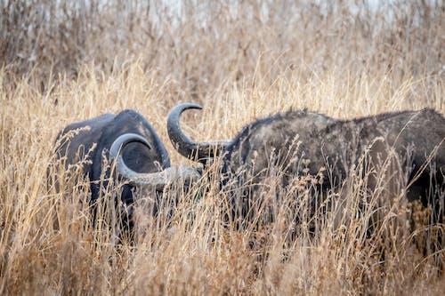 Základová fotografie zdarma na téma buvol, divoká zvířata, fotografie divoké přírody, fotografie přírody