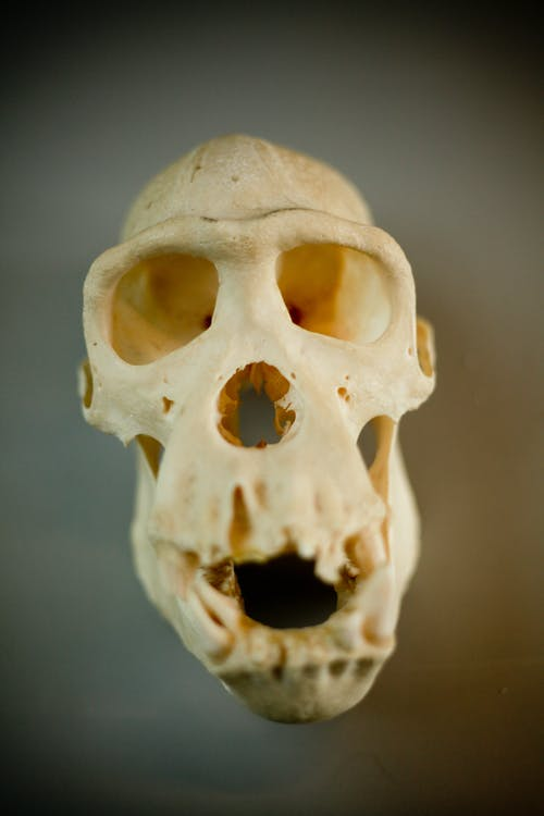Close-Up View of White Skull