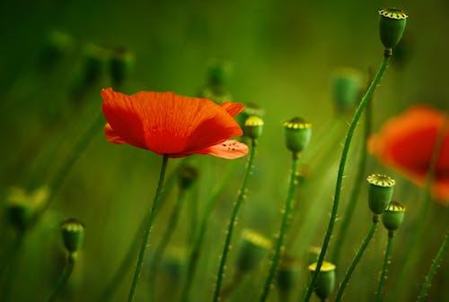 Vivid red poppy flowers growing on meadow
