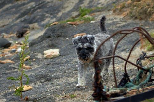 Foto d'estoc gratuïta de gos, platja, roques, schnauzer