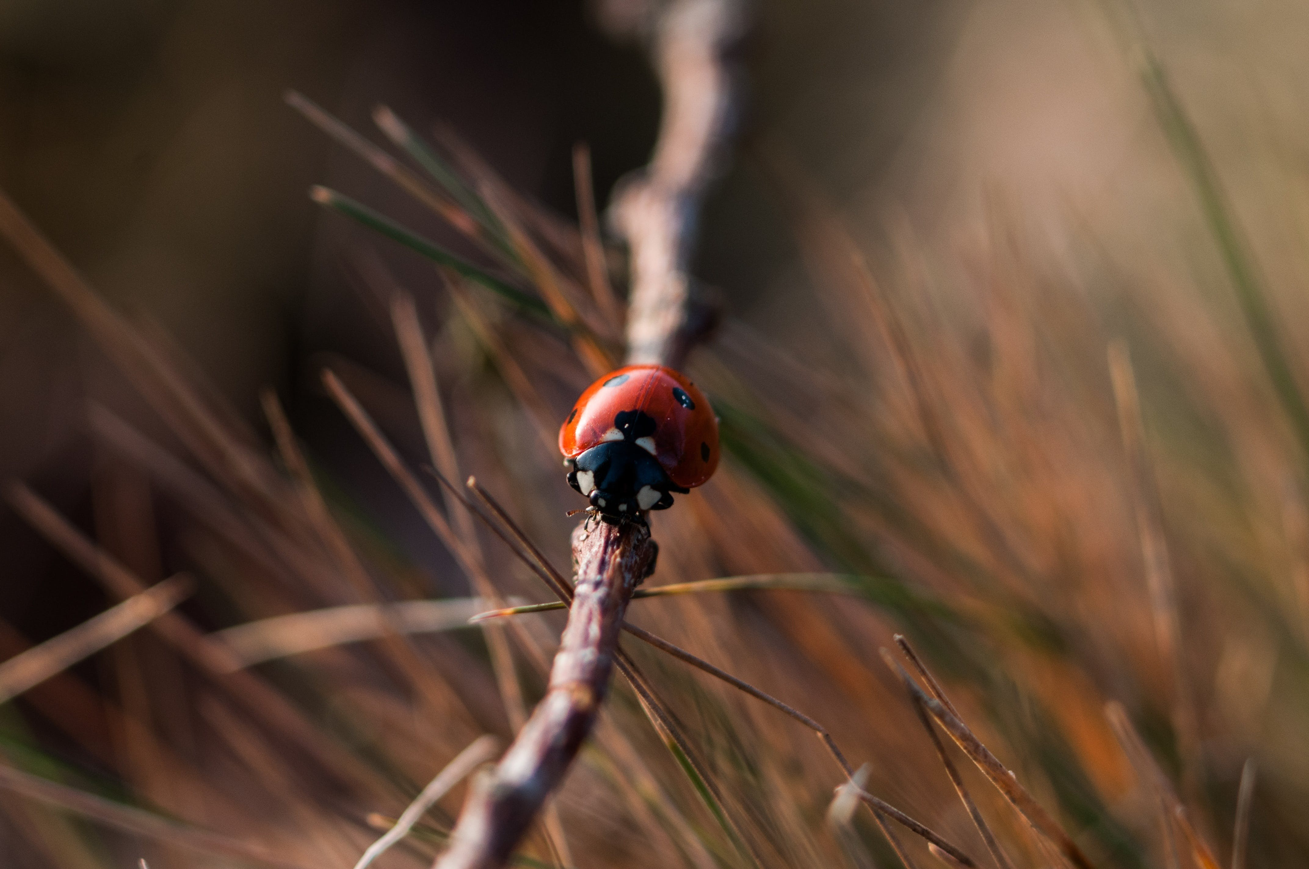Red Seven Spotted Ladybird Perched on Brown Tree Branch in Close Up Photography During Daytime