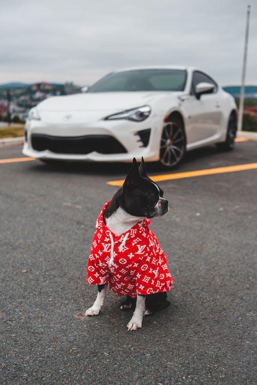 Stylish dog near white car on road