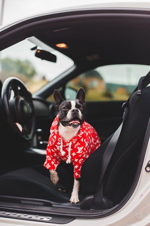 Cute Boston Terrier in bright wear resting on car seat