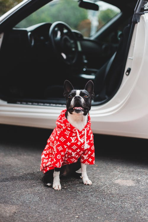 Adorable Boston Terrier in ornamental clothes looking up while sitting on rough roadway near auto
