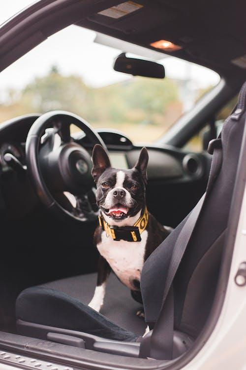 Boston Terrier in collar resting on auto seat