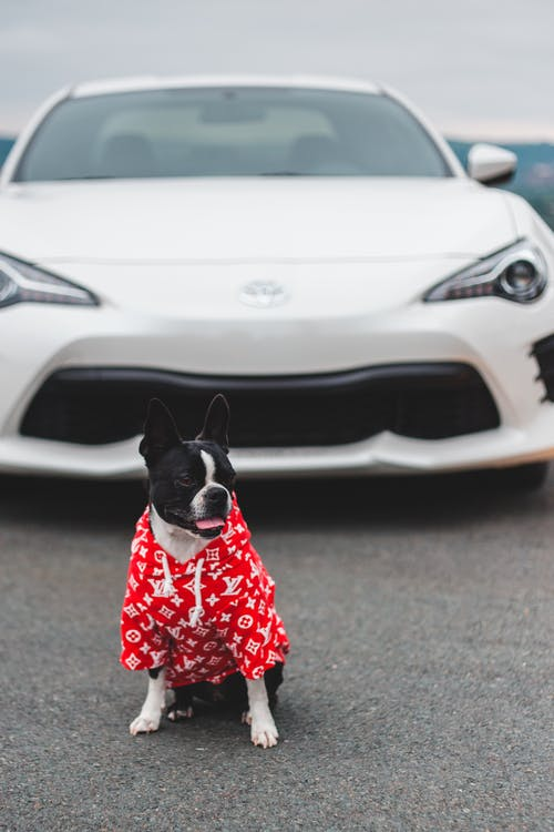 Cute purebred dog in colorful wear sitting with tongue out on road near modern sport car and looking away