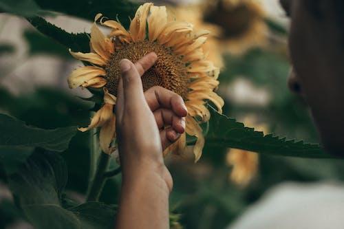 人, 向日葵, 增長 的 免费素材图片