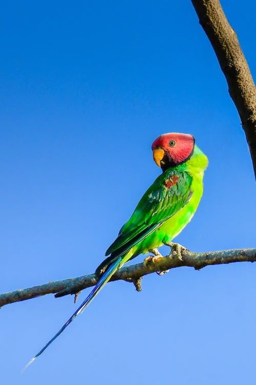 Adorable plum headed parakeet with bright colorful plumage sitting on thin leafless tree branch against blue sky