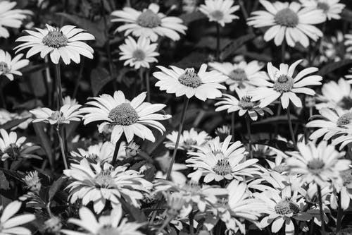 Free stock photo of bnw, flower, nature