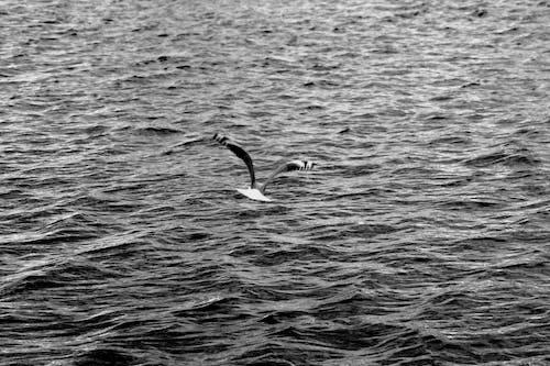 Free stock photo of black and white, ocean, sea gull