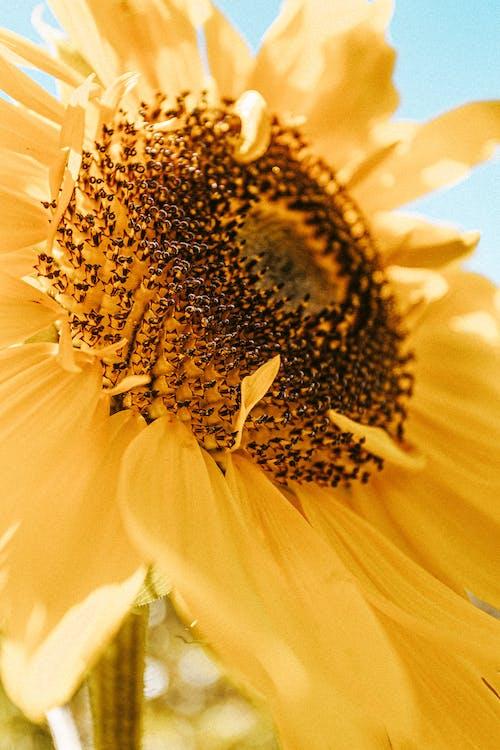 Fresh sunflower at sunny day